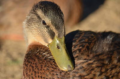 Photograph - Mallard Youth 3 by Maria Urso
