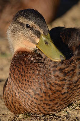 Photograph - Mallard Youth by Maria Urso