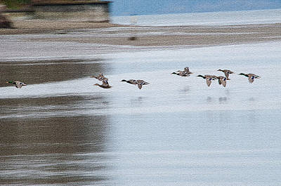 Photograph - Mallards In Flight by Tikvah's Hope