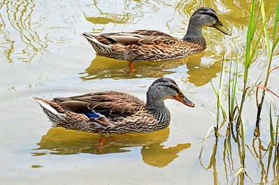 Photograph - Mallards by John Flack