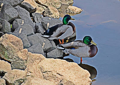 Photograph - Mallards by Linda Brown