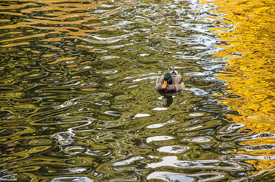 Photograph - Mallards On Golden Pond 1 by Roxy Hurtubise