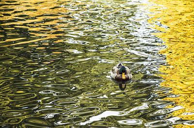 Photograph - Mallards On Golden Pond 2 by Roxy Hurtubise