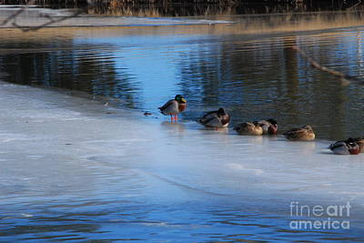Photograph - Mallards On Ice by Mark McReynolds