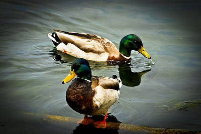 Photograph - Mallards On Mendota by Christi Kraft