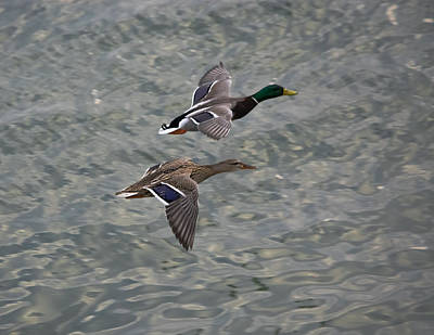 Ducks In Flight Photograph - Mallards On The Move by Jan M Holden