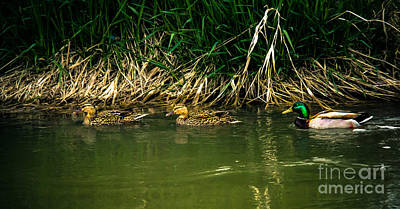 Photograph - Mallards by Robert Bales