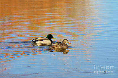 Photograph - Mallards by Roena King