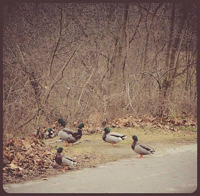 Photograph - Malllard Ducks by Connie Dye