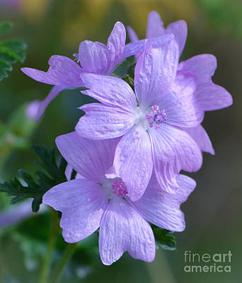 Photograph - Mallow Blossoms by Amy Porter