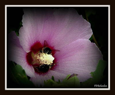 Photograph - Mallow by Priscilla Richardson