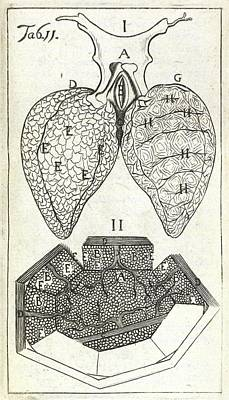 Physiology Photograph - Malpighi's Lung Observations by British Library