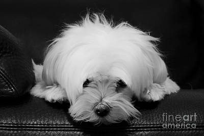 Maltese Dog Art Print