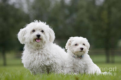 Toy Maltese Photograph - Maltese Dog With Puppy by Johan De Meester