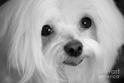 Photograph - Maltese Eyes by Leslie Leda