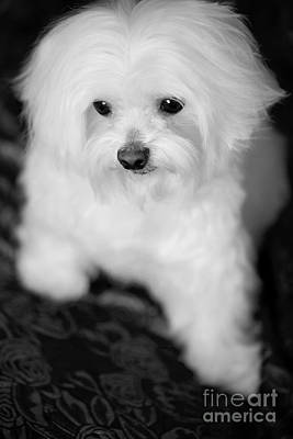 Photograph - Maltese Love by Leslie Leda