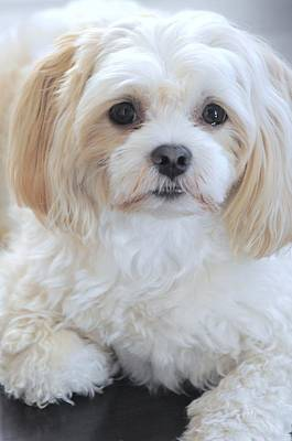 Photograph - Maltese Puppy Portrait by Lisa  DiFruscio