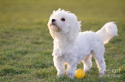 Maltese Photograph - Maltese With Ball by Johan De Meester