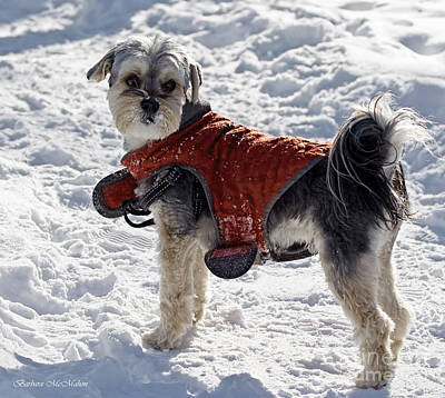 Photograph - Maltese Yorkie Out For A Winter Walk by Barbara McMahon