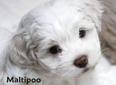 Portratis Photograph - Maltipoo Puppy by Lisa  DiFruscio