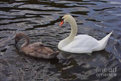 Baby Bird Photograph - Mama And Baby Swan by Carol Groenen