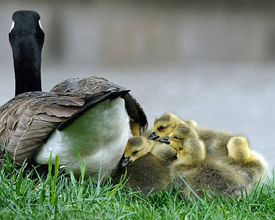 Geese Photograph - Mama And Goslings by Lisa Phillips