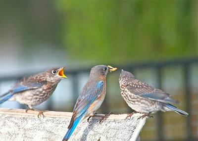 Photograph - Mama Bluebird And Fledglings by Jeanne Kay Juhos