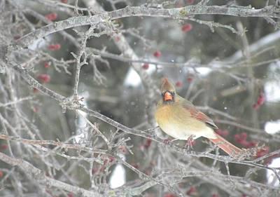 Photograph - Mama Cardinal by Peggy  McDonald