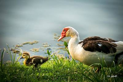 Photograph - Mama Duck And Duckling by TK Goforth