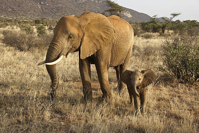 Photograph - Mama Elephant And Mini Me by Michele Burgess