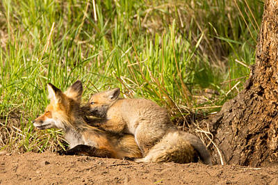 Fox Photograph - Mama Fox And Kit 2 by Natural Focal Point Photography