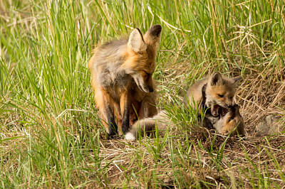 Mama Fox And Kits 2 Art Print by Natural Focal Point Photography