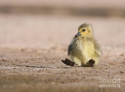 Clouds Rights Managed Images - Mama I fell down Gosling Royalty-Free Image by Ruth Jolly