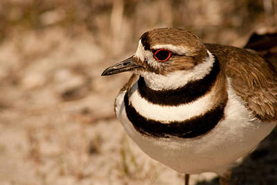Photograph - Mama Killdeer by Kristia Adams