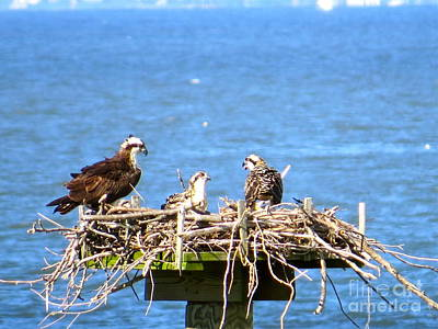 Photograph - Mama Osprey And Her Babies  by Nancy Patterson