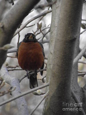 Photograph - Mama Robin by Michelle Welles