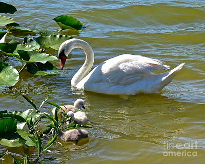Photograph - Mama Swan And Cygnets by Carol  Bradley