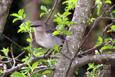 Mebane North Carolina Photograph - Mama's Gonna Buy You A Mockingbird by Benanne Stiens