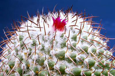 Photograph - Mamm Polythele Cactus by Carl Perkins