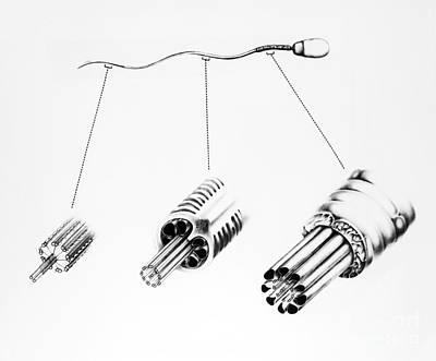 Mammalian Spermatozoon Art Print by David M. Phillips