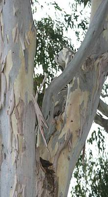 Photograph - Male Gum Tree by Phoenix De Vries