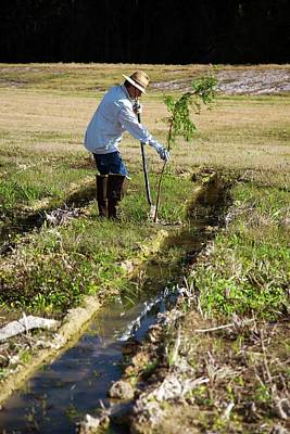 Runoff Photograph - Man Planting A Cypress Tree by Jim West