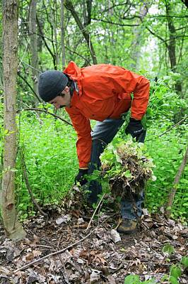 Weeding Photograph - Man Removing Invasive Plants by Jim West