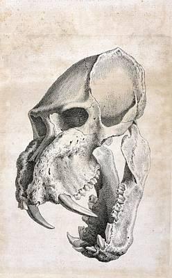 Of Tiger Photograph - Man-tiger Skull by British Library