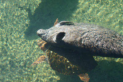 Photograph - Manatee And Loggerhead Turtle by Jean Clark