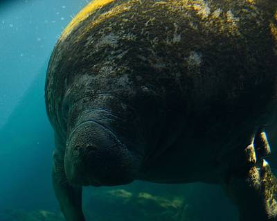 Photograph - Manatee Closeup by Richard Zentner