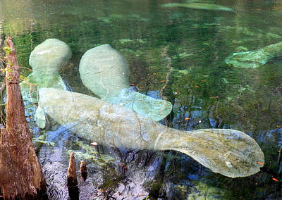 Manatee Gathering Art Print by Sheri McLeroy