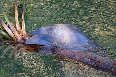 Photograph - Manatee by Jodi Terracina