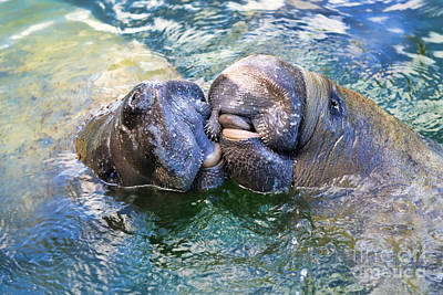 Photograph - Manatee Kiss by Olga Hamilton