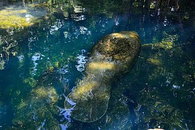 Photograph - Manatee Reflections by Richard Zentner